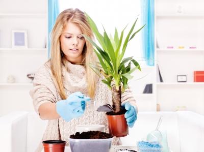 Как пересадиь комнатные цветы