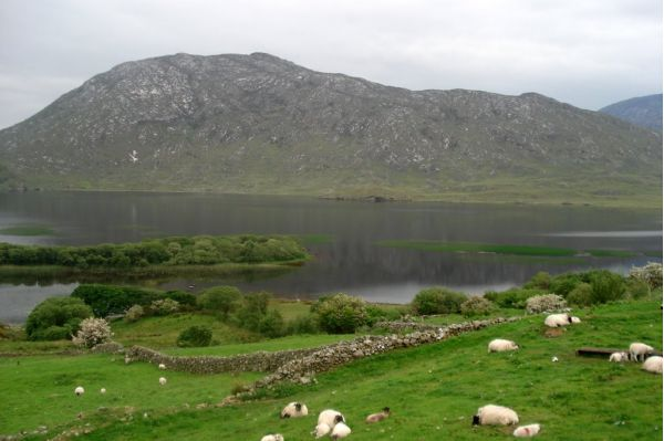 Овцы у озера Корриб